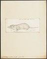 Crocidura indica - 1700-1880 - Print - Iconographia Zoologica - Special Collections University of Amsterdam - UBA01 IZ20900081.tif