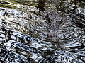 Crocodylus acutus camouflage.jpg