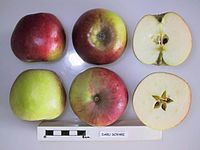 Cross section of Daru Sovari, National Fruit Collection (acc. 1948-363).jpg