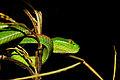 Crotale des bambou 2.jpg