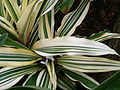 Cryptanthus bromelioides tricolor BotGardBln 12052008B.jpg