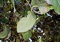 Cryptocarya-foetida3Leaves.JPG