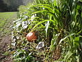 Cucurbita and Zea mais planted together - Huge potiron and maize.jpg