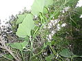"Cucurbita argyrosperma ""calabaza rayada o cordobesa"" (Florensa) yema floral F02 con flash.JPG"