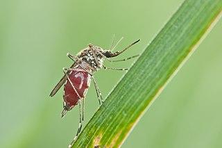 Komár - nacicaná samička
