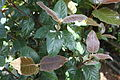 Curtisia dentata - Assegai tree - foliage 4.jpg
