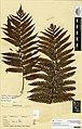 Cyathea medullaris (G.Forst.) Sw. (AM AK114283).jpg