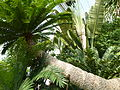 Cycad Planted in 1775 P1170562.JPG