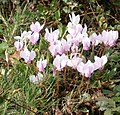 Cyclamen hederifolium RHu 2020.JPG