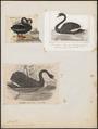 Cygnus atratus - 1700-1880 - Print - Iconographia Zoologica - Special Collections University of Amsterdam - UBA01 IZ17600245.tif