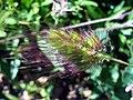 Cynosurus echinatus InflorescenceCloseup 17May2009 DehesaBoyaldePuertollano.jpg
