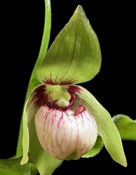 Hoa gieo tứ tuyệt 3 - Page 11 280px-Cypripedium_debile_%28Hokkaido%29_Rchb.f.%2C_Xenia_Orchid._2-_223_%281874%29_%2834232426561%29_-_cropped