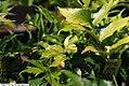 Cyrtomium falcatum Rochfordianum 2zz.jpg