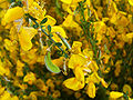Cytisus scoparius FlowersCloseup 2009April26 SierraMadrona.jpg