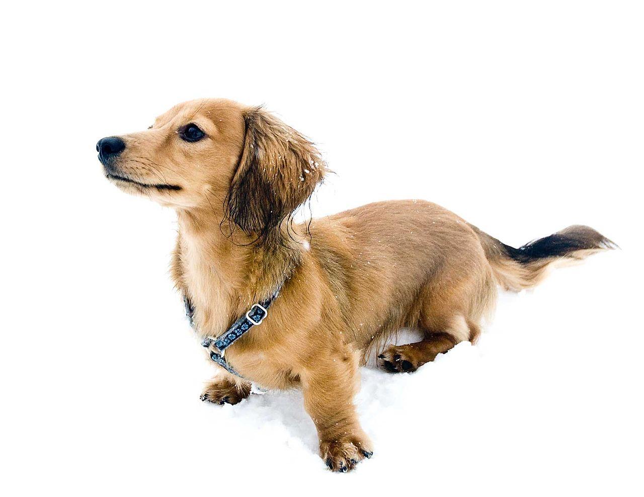 Dog Harness Puppy Training