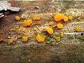 Dacrymyces stillatus Nees 63238.jpg