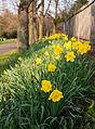 Daffodils (6867449986).jpg