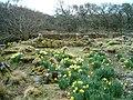 Daffodils and ruins - geograph.org.uk - 145470.jpg