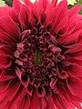 Dahlia - Indian Botanic Garden - Howrah 2012-01-29 1786.JPG