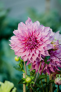 <i>Dahlia</i> genus of plants in the family Asteraceae