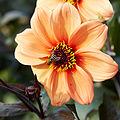 Dahlia sp.-IMG 9281.jpg
