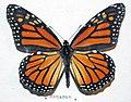 Danaus plexippus (monarch butterfly).jpg