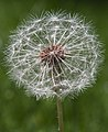 Dandelion (14164988060).jpg