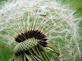 Dandelion - detail (2) - geograph.org.uk - 572246.jpg