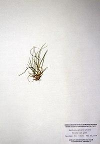 Danthonia spicata BW-1979-0602-0488.jpg