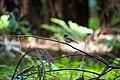 Dark-eyed junco (48075764156).jpg