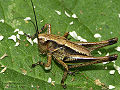 Dark bush-cricket nymph.jpg