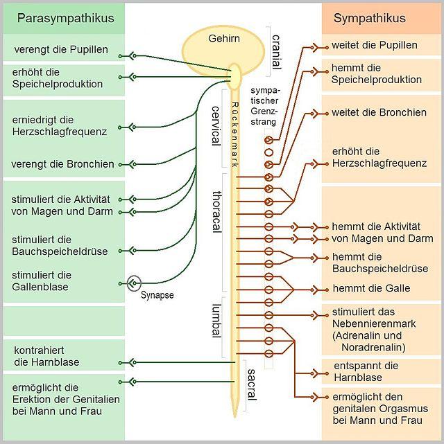 Vegetatives Nervensystem - Wikiwand