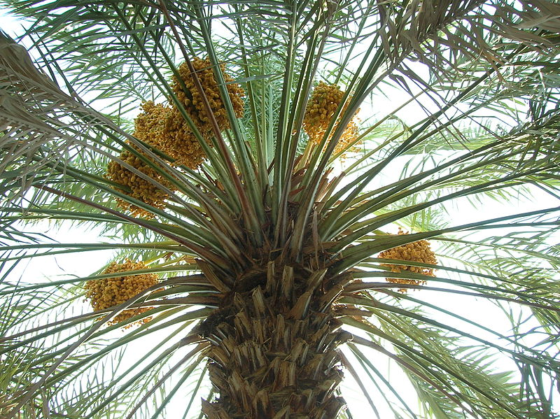 File:Date palm with fruits.jpg