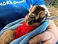Day Old Nigerian Dwarf Goat.jpg