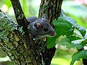 Deer Mouse in Tree (6438329699) B.jpg