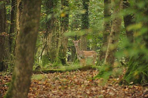 Deer in Plymbridge Woods (1538)