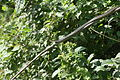 Dendrelaphis tristis at Kaludiya pokuna.jpg