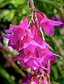 Dendrobium goldschmidtianum - Marie Selby Botanical Gardens - Sarasota, Florida - DSC01007 - cropped.jpg