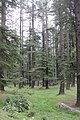 Deodar forest.jpg