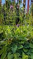 Der Heilziest, die Echte Betonie, Betonica officinalis oder Stachys betonica 02.jpg