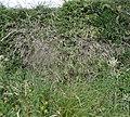 Deschampsia cespitosa, Tussock Grass, Stewarton, East Ayrshire, Scotland.jpg