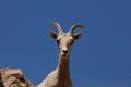 Desert Bighorn Sheep.png