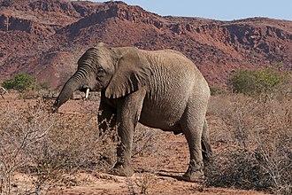Desert elephant - Image: Desert elephant (Loxodonta africana) young female