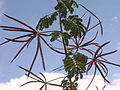 Desmanthus bicornutus pods 3990.JPG