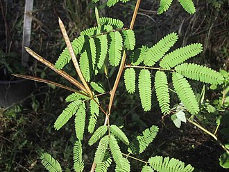 Desmanthus - Desmanthus pernambucanus