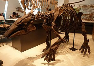 Desmostylia - Desmostylus, Royal Ontario Museum