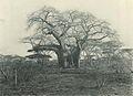 Deutsch-Ostafrika, Zentrales Steppengebiet (Busse) - Tafel 42 - Affenbrotbaum.jpg
