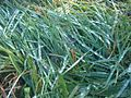 Dew on grass - wetland 1.jpg