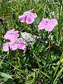 Dianthus alpinus sl5.jpg
