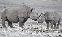 Namibia-Sport-Diceros bicornis (Etosha)